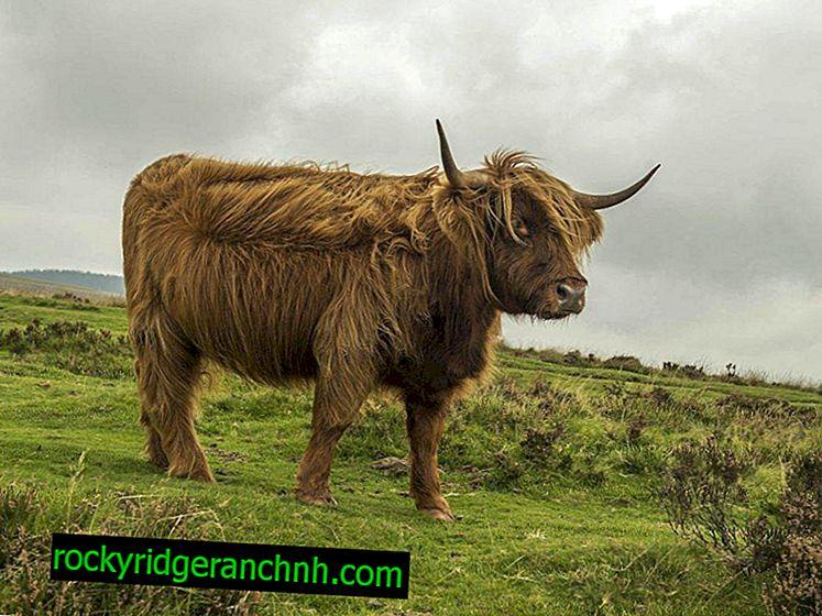 Highland krave ali škotske visokogorje