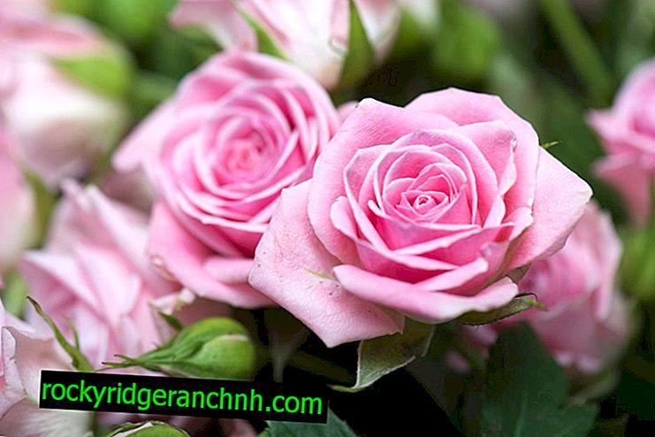 Efterår stiklinger af roser - formeret derhjemme