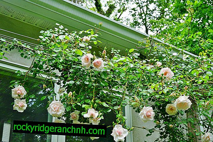 Abrigo de rosas de escalada para o inverno - o que jardineiros experientes aconselham