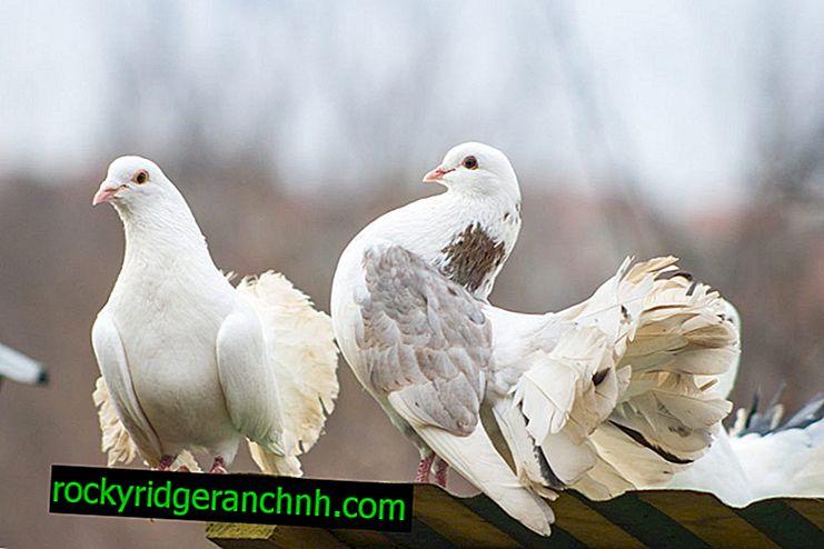 Kenmerken van duiven kweken Izhevsk hoogvliegend