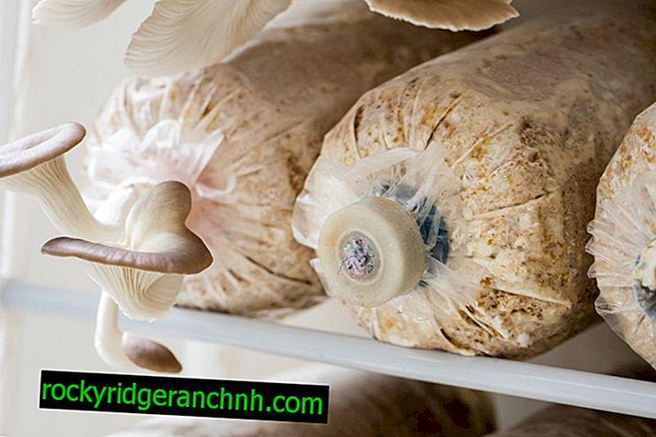 Gojenje micelija gob ostrig doma
