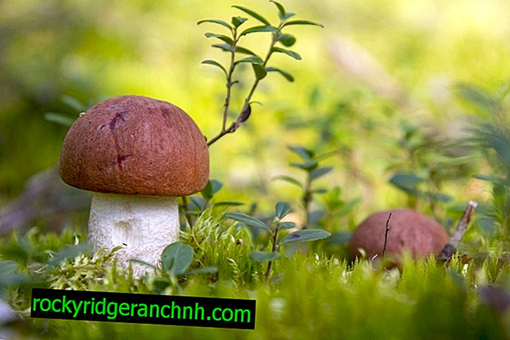 Koje gljive rastu u Ufi i gdje ih potražiti