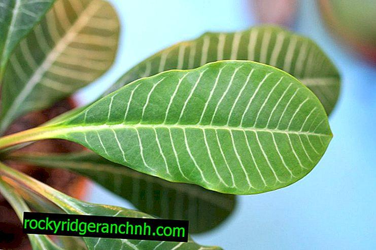 Euphorbia de orejas blancas: ¿una palma venenosa o un hombre exótico y guapo?