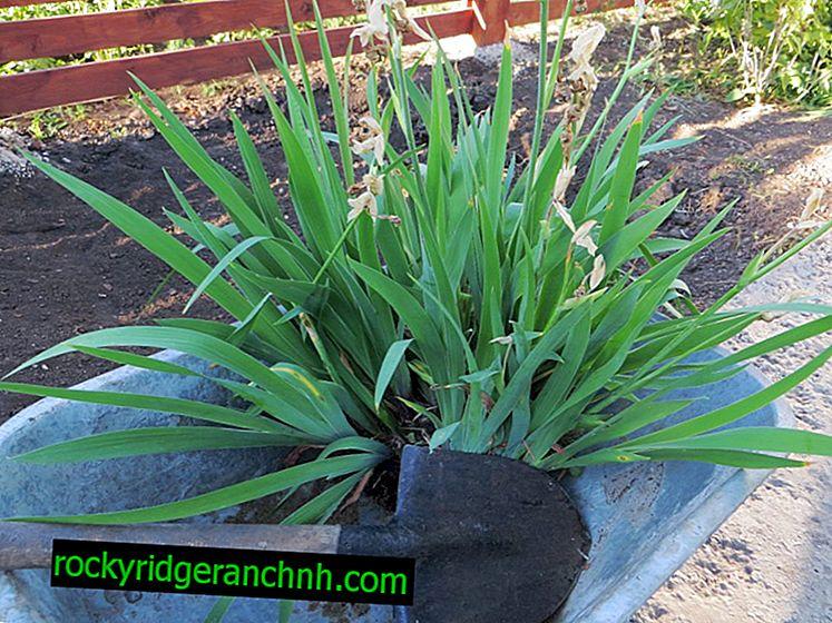 Как да засадите ириси през есента - стъпка по стъпка инструкции