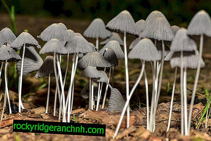 Beskrivelse af saprotroph svampe