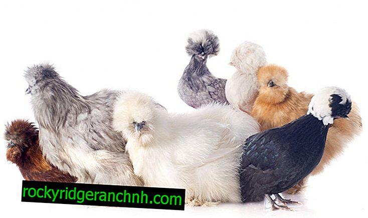 Witte Hollandse kippen
