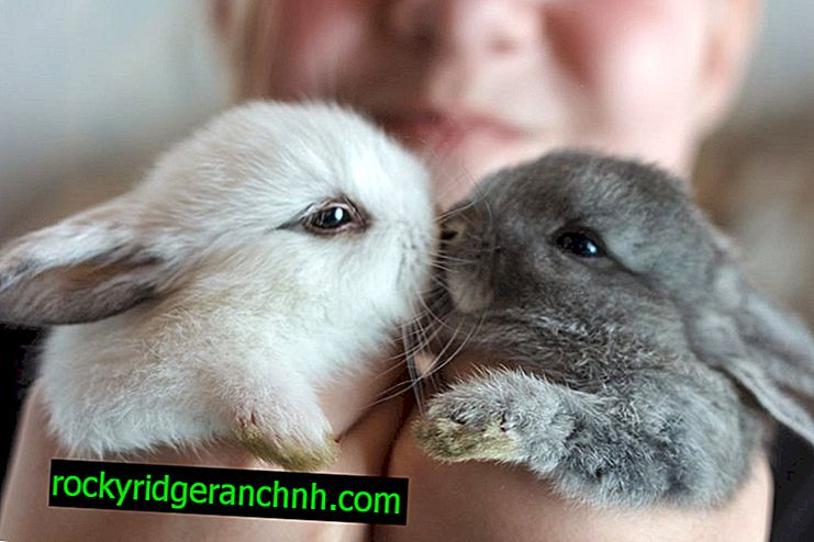 Pourquoi un lapin peut-il avoir les yeux larmoyants?