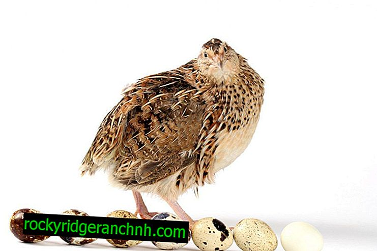 Proper quail breeding at home for beginners