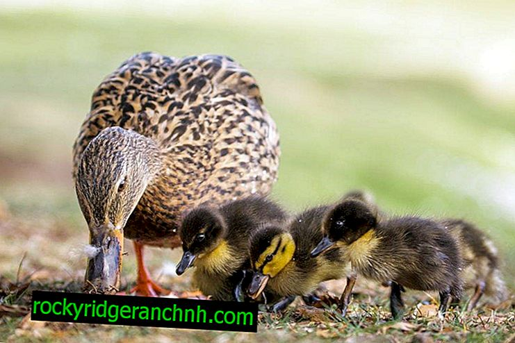 How to feed little ducklings at home