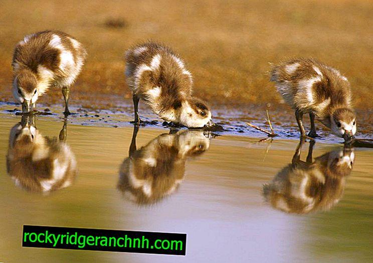Как се отглеждат и отглеждат гъски