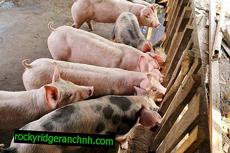 Odling av olika raser av svin för kött