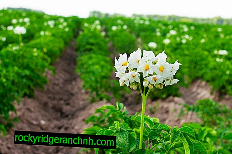 Rules for growing potatoes in the open field