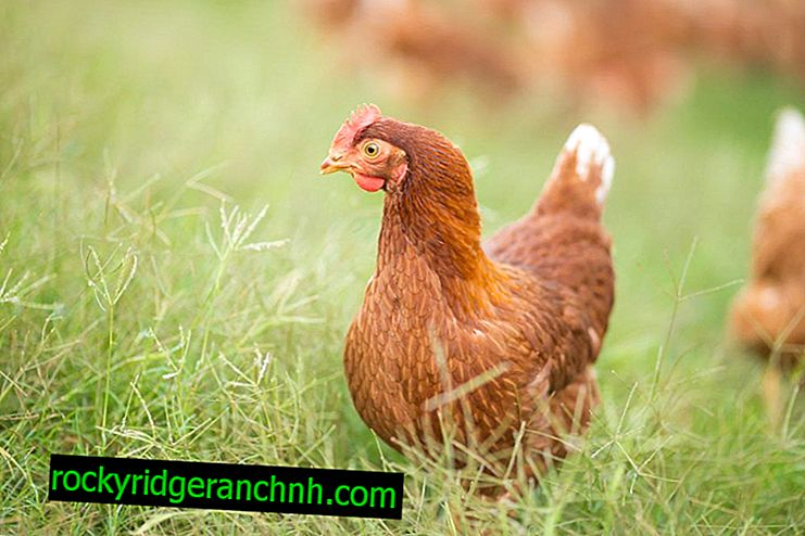 Methods and drugs for treating diarrhea in laying hens