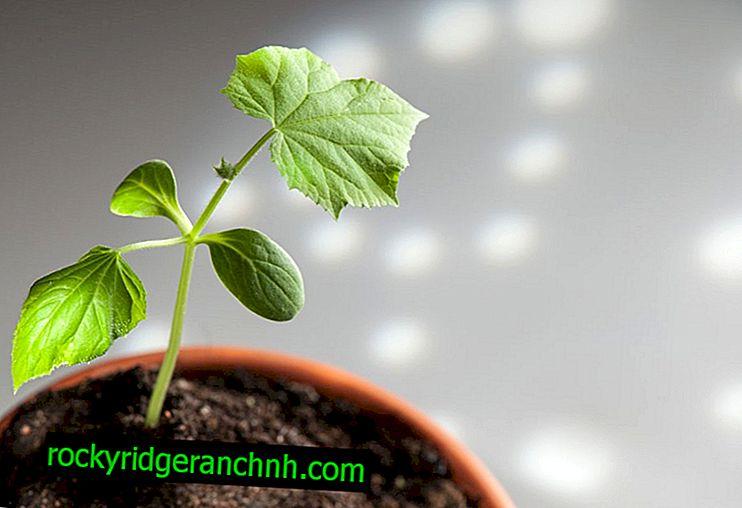 Wann werden Gurkensämlinge für ein Gewächshaus gepflanzt?
