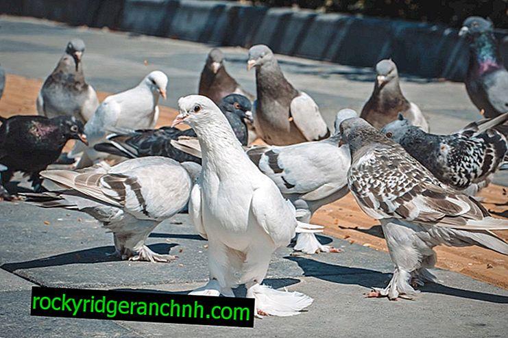 Značilnosti hvaležnih golobov