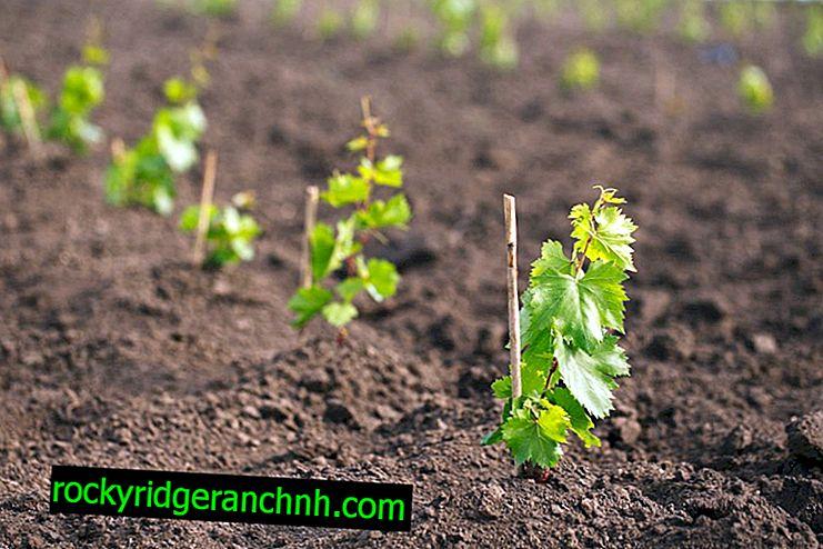 Пересадка винограду навесні