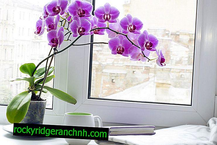 Hoe zich te ontdoen van kleine knutten op een orchidee