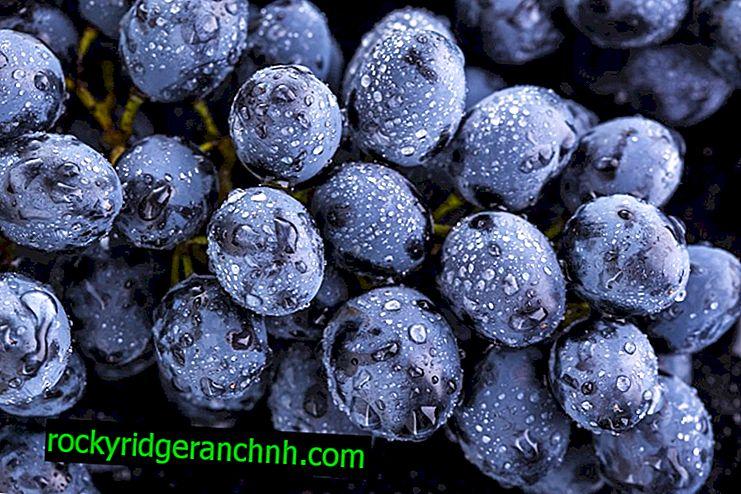 Richelieu üzümleri nasıl yetiştirilir?