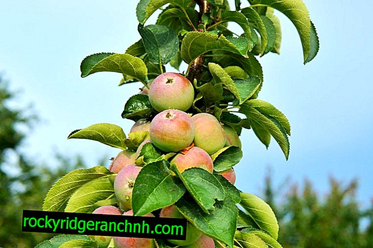 Column-shaped varieties of apple trees for the Urals