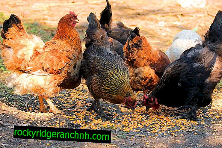 De lijst met vleesrassen van kippen
