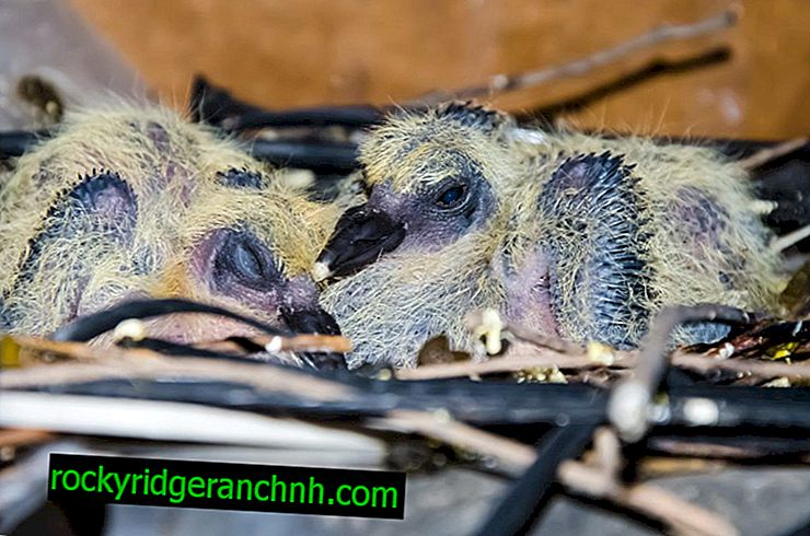 Evde bir güvercin civciv nasıl beslenir