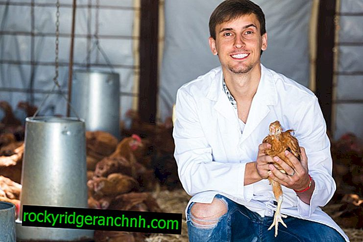 Waarom kippen niet haasten - oorzaken en oplossingsmethoden