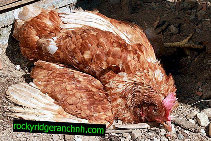 Doenças comuns da galinha