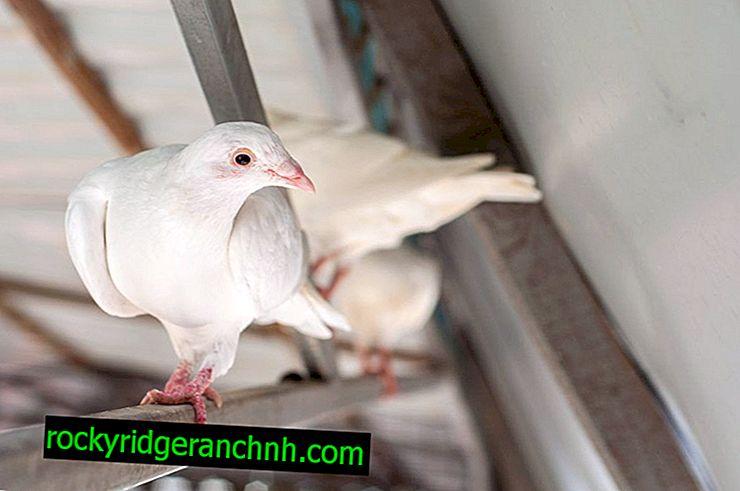 Características de las palomas de Bakú