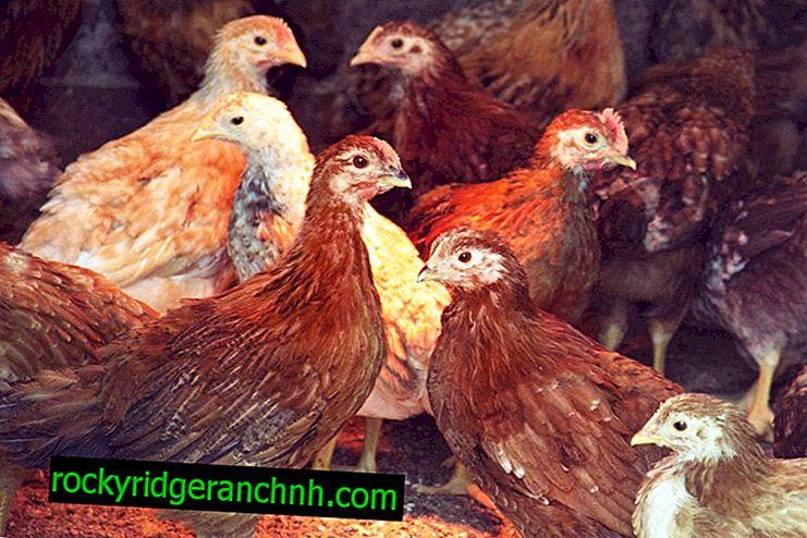Pourquoi les poules tombent-elles sur leurs pattes?