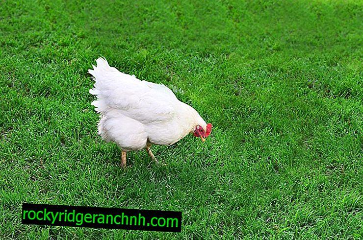 Gallinas de huevo dirección Loman White