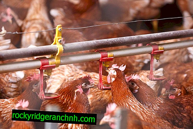 Home breeding chickens as a kind of business