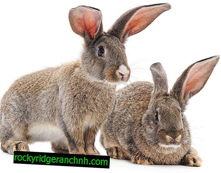 Maladie des oreilles de lapin