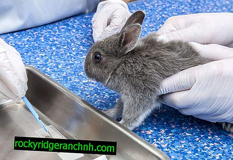 Sådan helbredes coccidiosis hos kaniner