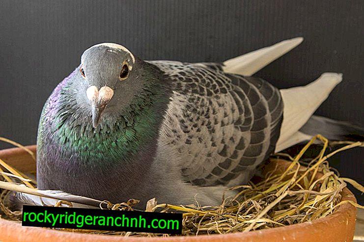 Jak se holuby chovají