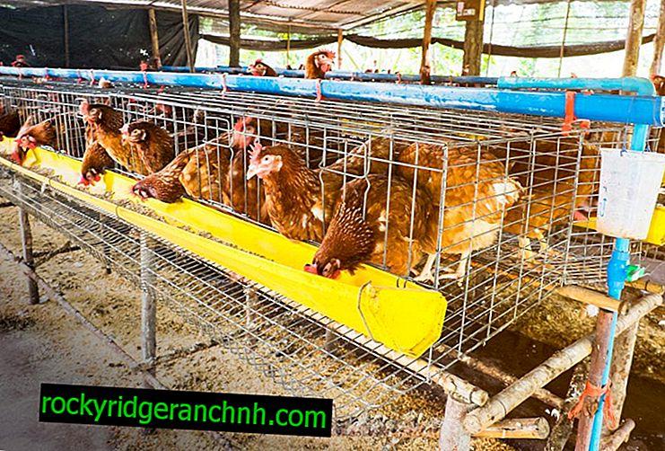 Tavukların kafeslerde tutulması için öneriler