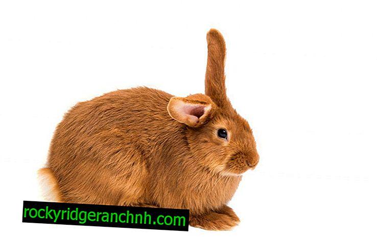 Kırmızı Tavşan açıklaması