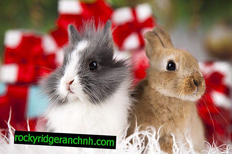 Tavşan karahindiba vermek mümkün mü
