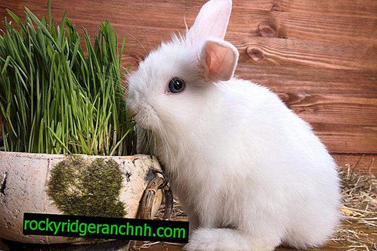 Wanneer coccidiostatica aan konijnen worden gegeven