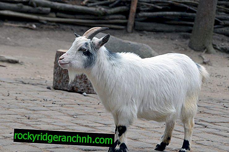Миниатюрни кози от комерон