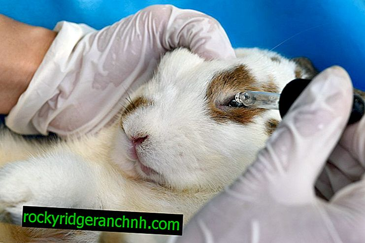 How to treat conjunctivitis in rabbits at home