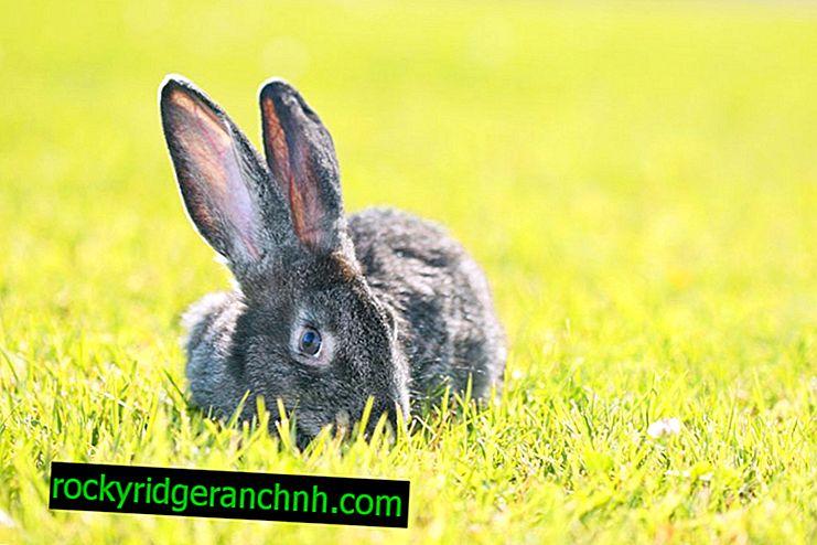 Riesen rabbit