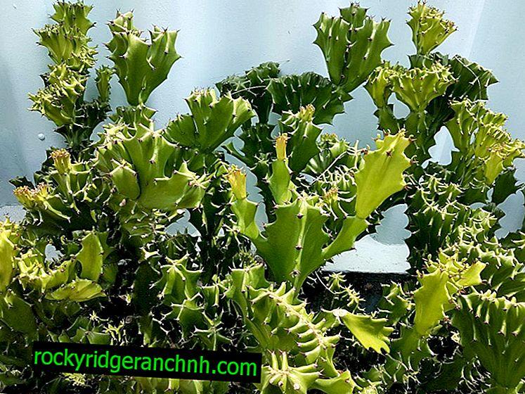 Indoor Euphorbia Trihedral