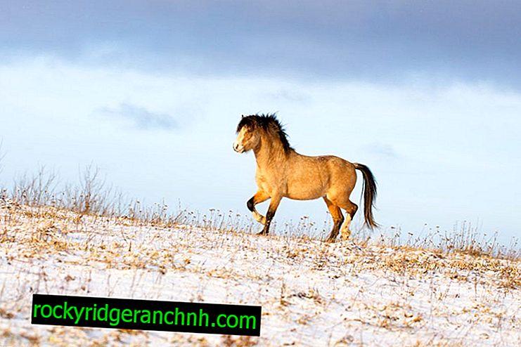 Welsh Pony Description