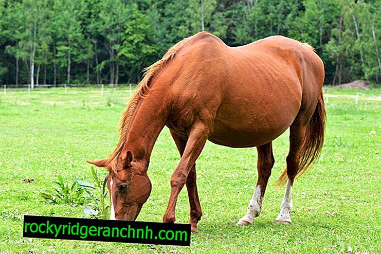Trudnoća kod konja