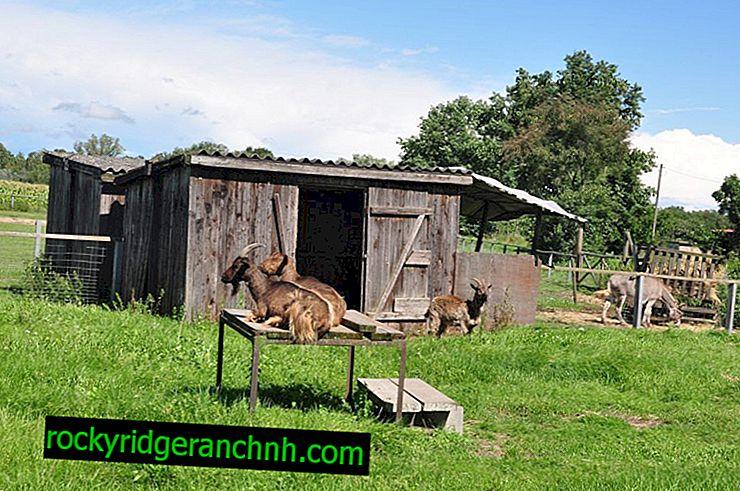 Vereisten voor de bouw van een schuur voor boerderijgeiten