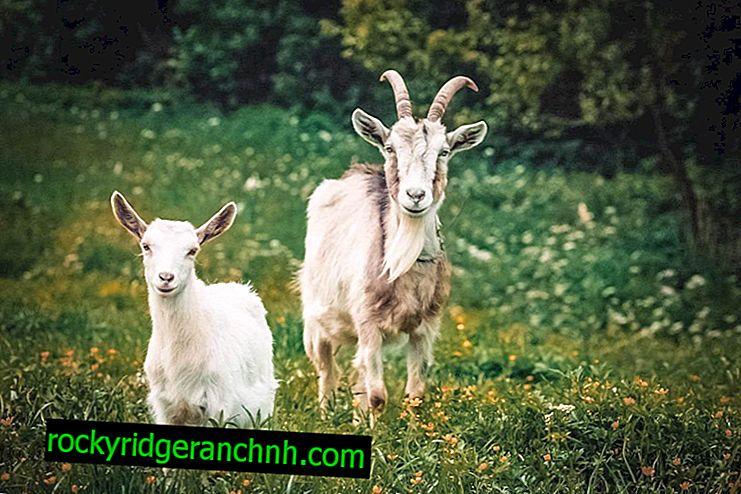 Kako i kada kastrirati kozu