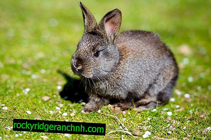 Symptomen van listeriose bij konijnen en behandelmethoden