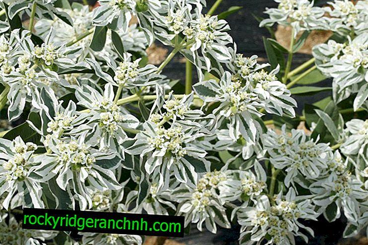 Jardim Euphorbia afiado