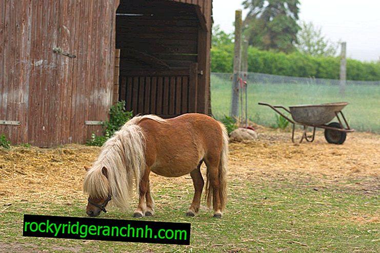 Description du poney Shetland