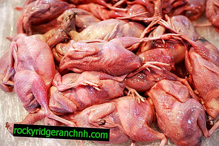 How is the slaughter and cutting of quail